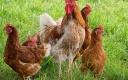 Кормушки и поилки для домашней птицы